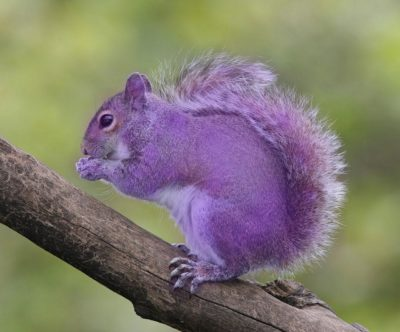 don't hire a purple squirrel
